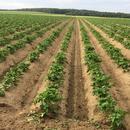 Mitte Juni: Seit ca. 10 Tagen sprießt das Kartoffellaub aus dem Damm.